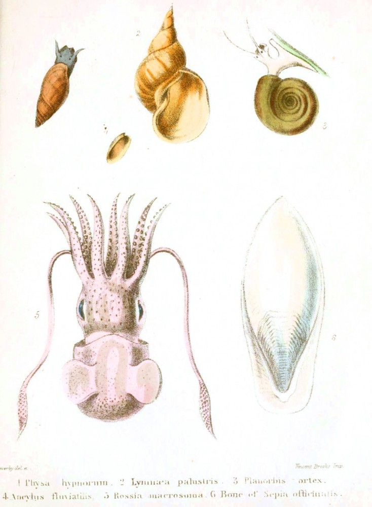 Animal - Seashell - Popular British Conchology  (19)