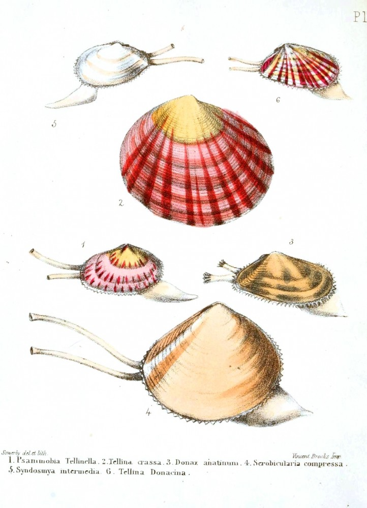 Animal - Seashell - Popular British Conchology  (2)