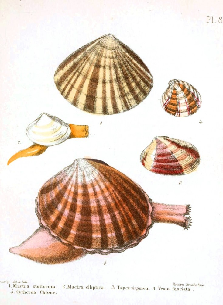 Animal - Seashell - Popular British Conchology  (7)