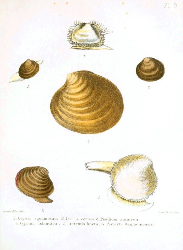 Animal - Seashell - Popular British Conchology  (8)