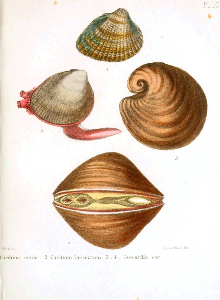Animal - Seashell - Popular British Conchology  (9)