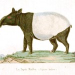 Animal - Tapir - Buffon