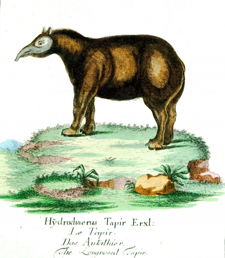 Animal - Tapir - Buffon 1780