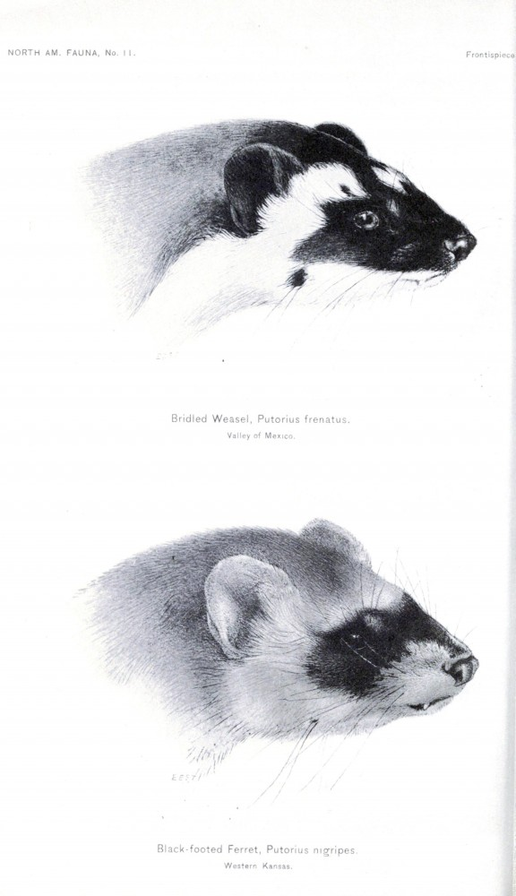 Animal - Weasel - Weasels of North America