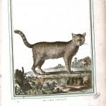 Animal - Wild Cat - Buffon's Quadrupeds (41)