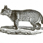 Animal - Wildcat - Extinct Pennsylvania Animals