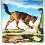 Animal - Wolf - French