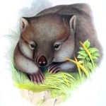 Animal - Wombat - Australia - Wombat face