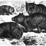 Animal - Wombat - Australia - Wombats-drawing
