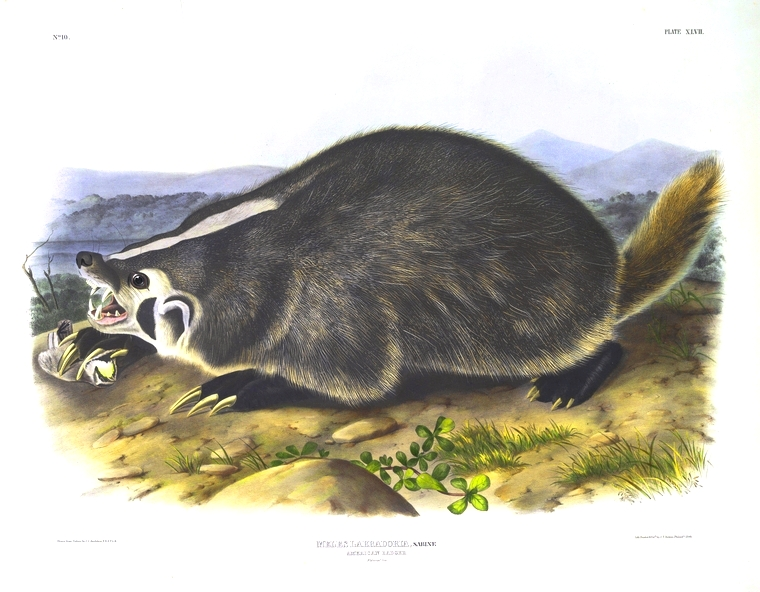 Animal - Woodland - Badger