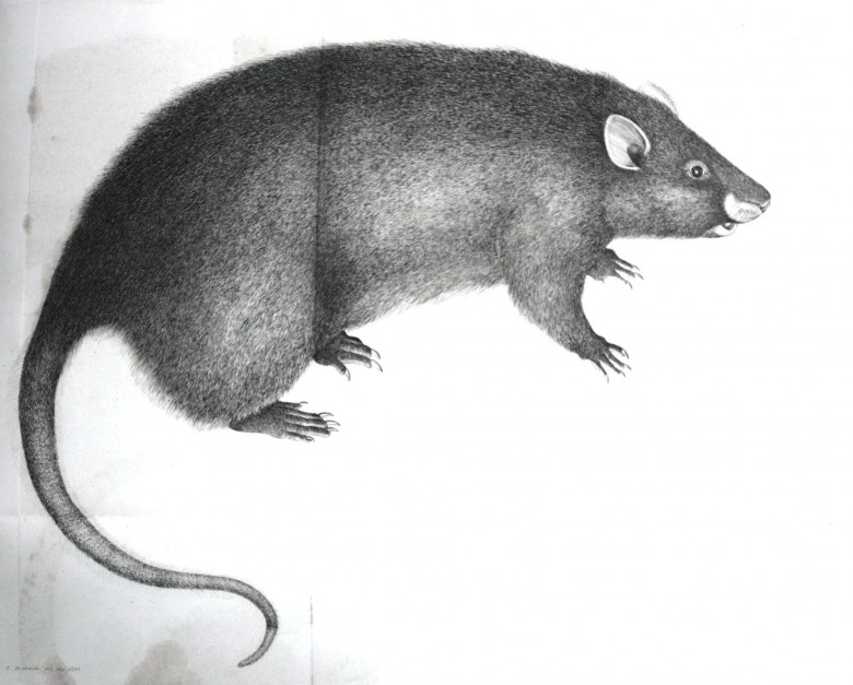 Animal - Woodland - Bandicoot Rat