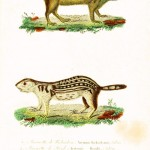 Animal - Woodland - Buffon - Chipmunk