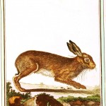 Animal - Woodland - Buffon - Rabbit - Le Lievre