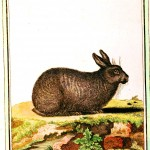 Animal - Woodland - Buffon - Rabbit - Le Riche