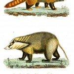 Animal - Woodland - Buffon - Raccoon -like