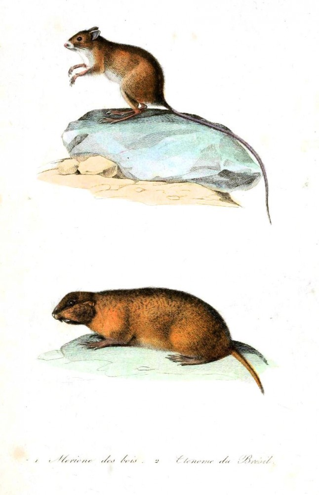 Animal - Woodland - Buffon - Shrew
