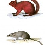 Animal - Woodland - Buffon - Squirrel - Mouse