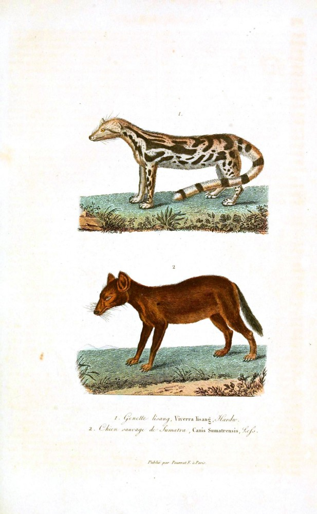 Animal - Woodland - Buffon - Weasel - Fox