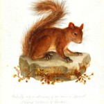 Animal - Woodland - Common Red Squirrel  - Animals of the Levant