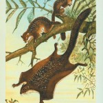 Animal - Woodland - Flying Squirrel (1)
