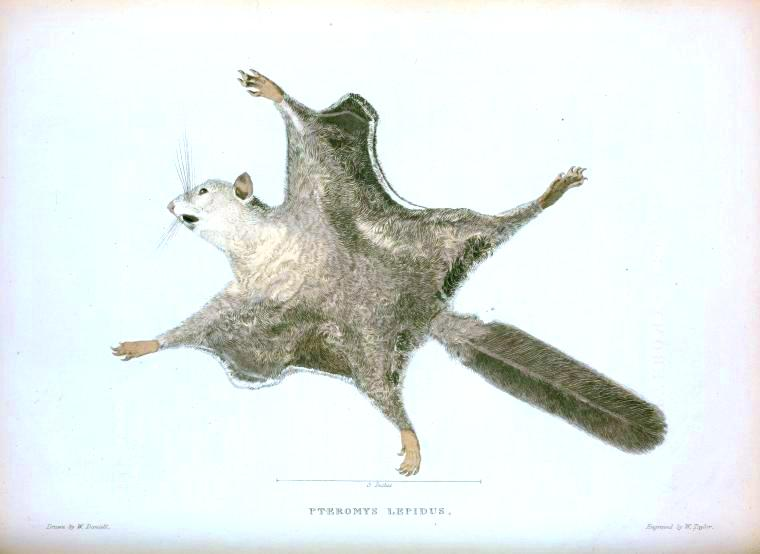 Animal - Woodland - Flying Squirrel (6)