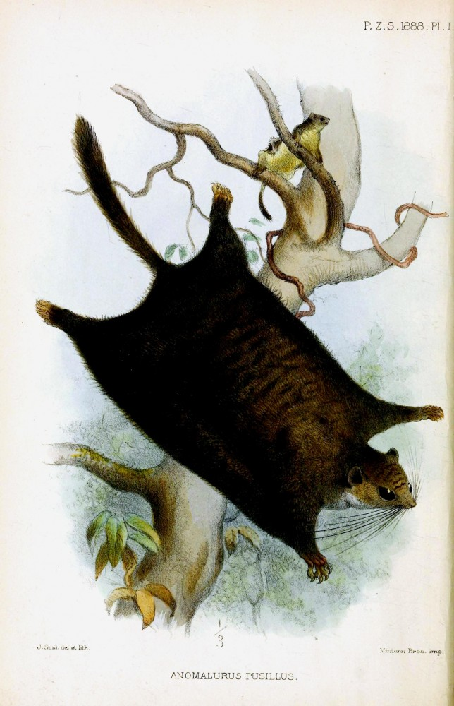 Animal - Woodland - Flying squirrel - London Zoological Society 1830