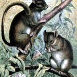 Animal - Woodland - Mouse - Doormouse
