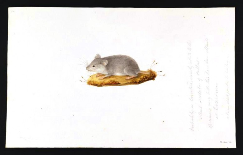 Animal - Woodland - Mouse - Mus accedula of Pallas - Animals of the Levant