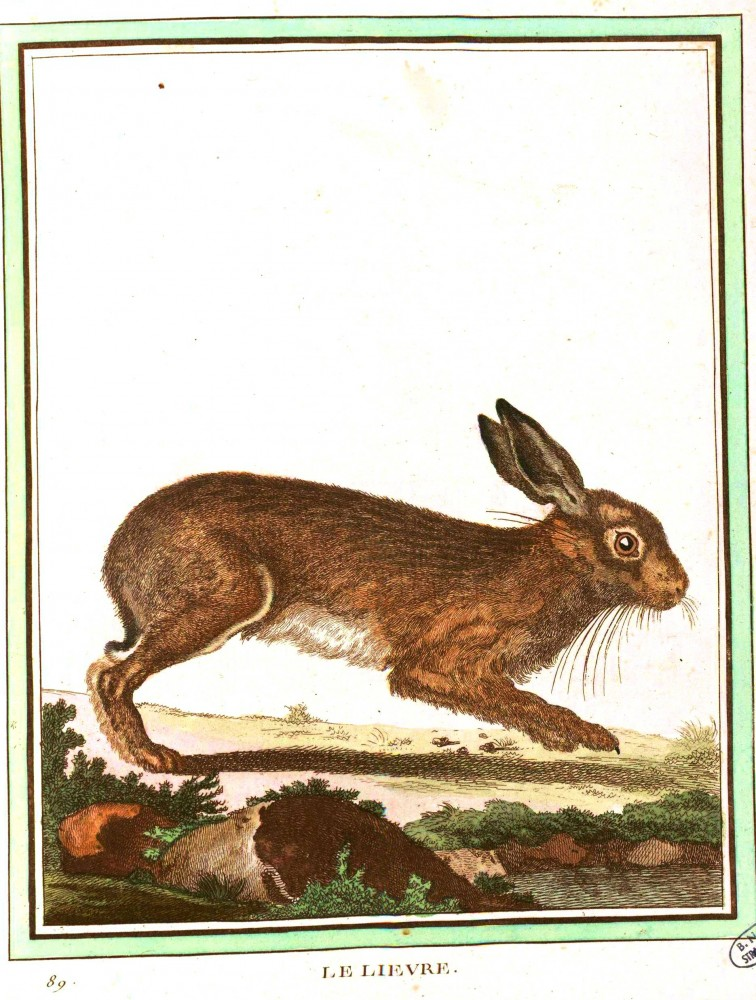 Animal - Woodland - Rabbit - Buffon's Quadrupeds  (1)