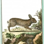 Animal - Woodland - Rabbit - Buffon's Quadrupeds  (2)