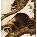 Animal - Woodland - Raccoon