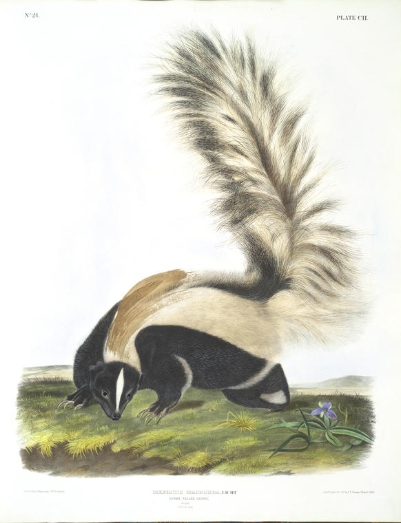 Animal - Woodland - Skunk 2