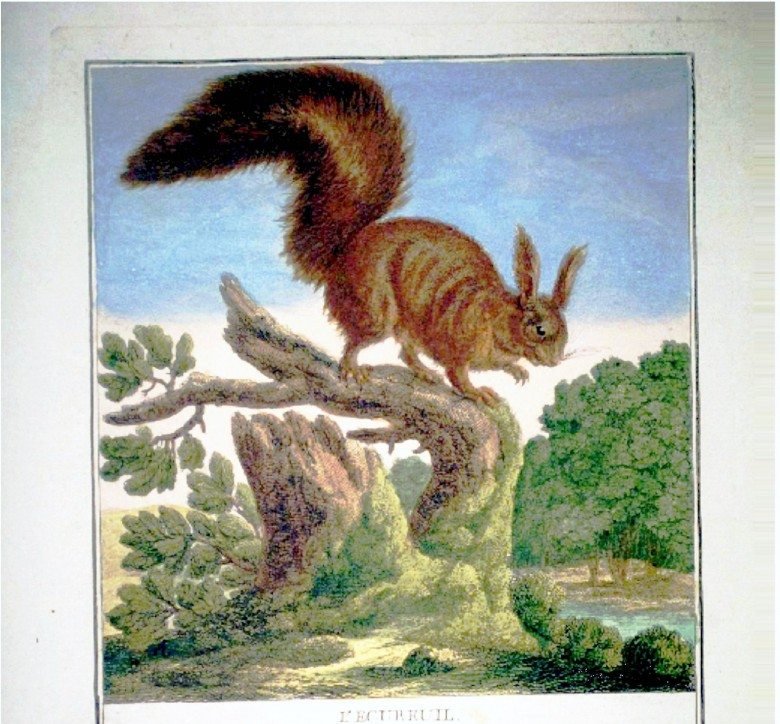 Animal - Woodland - Squirrel - French