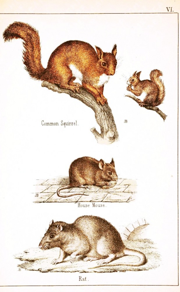 Animal - Woodland - Squirrel, mouse, rat