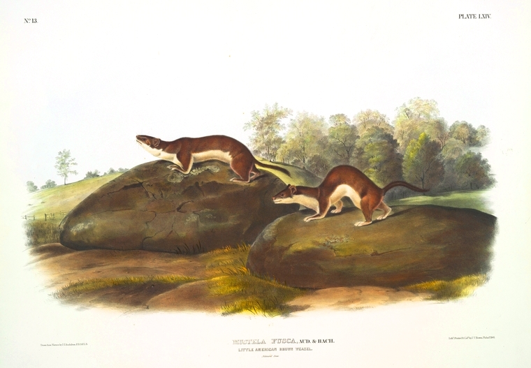 Animal - Woodland -  Weasel