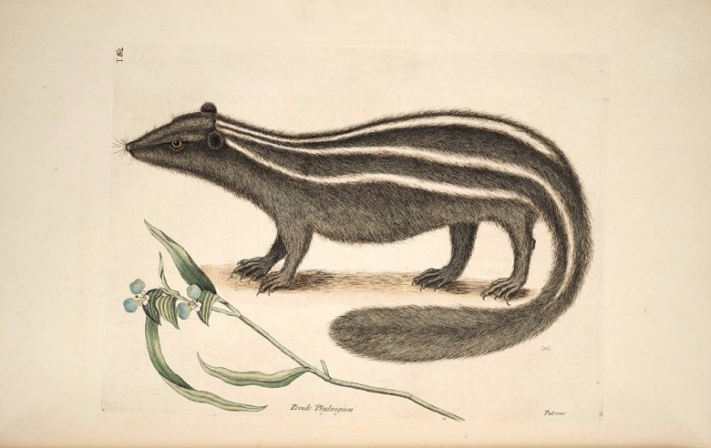 Animal - Woodland - pole cat - Catesby