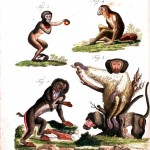 Animals - Educational Plate -  Non-human primate