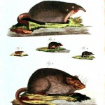 Animals - Educational Plate -  Voles and moles