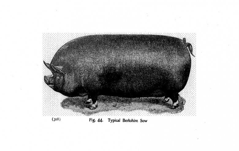 Animals - Range and Farm - Pig  - Black and white - Illustration (1)