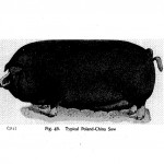 Animals - Range and Farm - Pig  - Black and white - Illustration (2)
