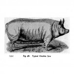 Animals - Range and Farm - Pig  - Black and white - Illustration (3)