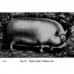 Animals - Range and Farm - Pig  - Black and white - Illustration (4)