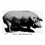 Animals - Range and Farm - Pig - Black and white - Photo (1)
