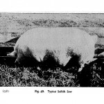 Animals - Range and Farm - Pig - Black and white -  Photo