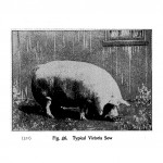 Animals - Range and Farm - Pig - Black and white - Photo (2)