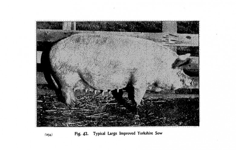 Animals - Range and Farm - Pig - Black and white - Photo (3)