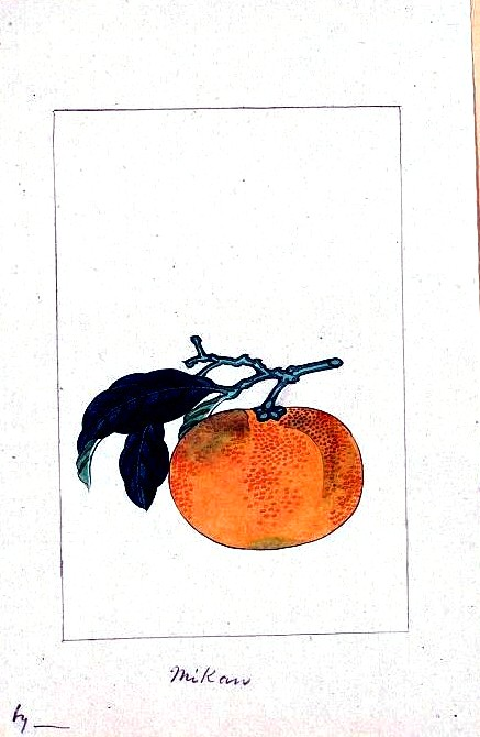 Art - Asian - Botanical - fruit - mikan (Japanese orange)