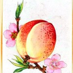 Art - Asian - Botanical - fruit - peach