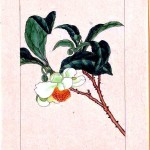 Art - Asian - Botanical - tea plant