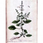 Botanical - A curious herbal - Flower - Basilicon or Ocimum (Basil) p104